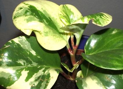 Peperomia Obtusifolia Sensation Glasshouse Works