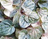 Peperomia griseo-argentea Pink Marble