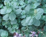 Plectranthus saccatus [Cernezan 'N' Lime]