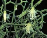 Rhipsalis cereuscula