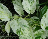 Epipremnum [Scindapsis] aureum Marble Queen