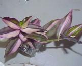 Zebrina pendula discolor multicolor