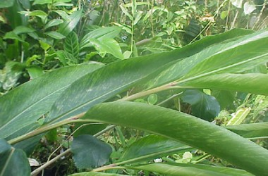 Alpinia speciosa Wagner's Lime Streaker