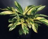 Alpinia speciosa [zerumbet] variegata