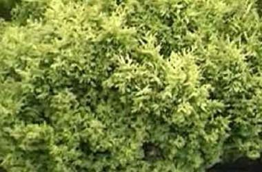 Chamaecyparis pisifera squarrosa lutea