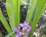 Cochliostema jacobianum [odoratissimum]