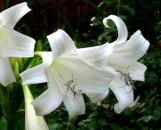 Crinum St. Christopher [hyb]