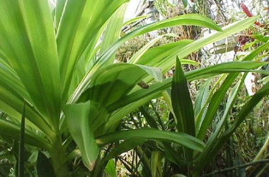 Crinum moorei variegatum