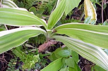 Crinum asiaticum variegatum
