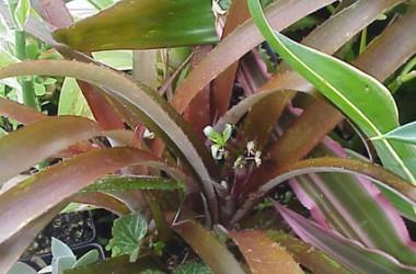 Cryptbergia rubra [hyb]