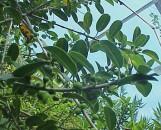 Ficus burtt-davyi Cango