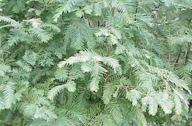 Metasequoia glypstrobioides