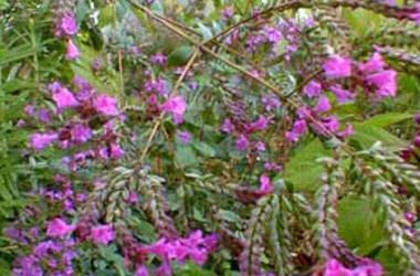 Origanum laevigatum Hopley's Purple