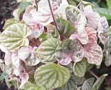 Peperomia caperata maculata variegata