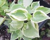 Peperomia viridis variegata