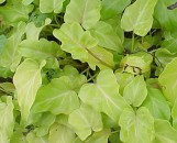 Philodendron Xanadu Golden Form