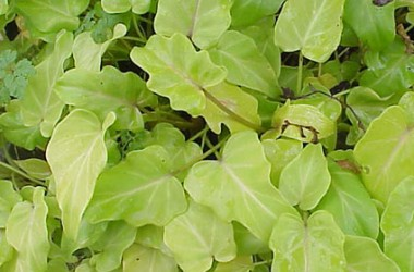Philodendron Xanadu Golden Form