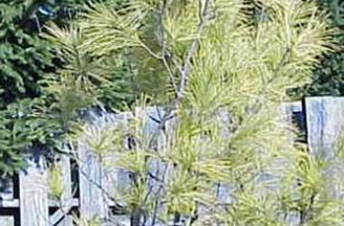 Pinus strobus Hillside Winter Gold