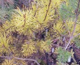 Pinus sylvestris aureus