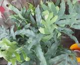Polypodium (phlebodium) aureum Blue Star
