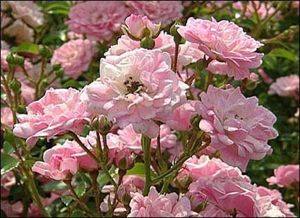 rose pink fairy