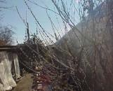 Salix gilgiana