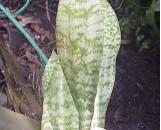 Sansevieria aubrytiana