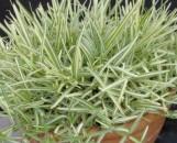 Stenotaphrum secundatum variegatum