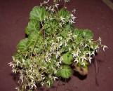 Saxifraga stolonifera [Sarmentosa]