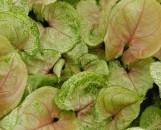 Syngonium podophyllum Mango Allusion