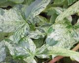 Syngonium podophyllum Mottled Arrowhead
