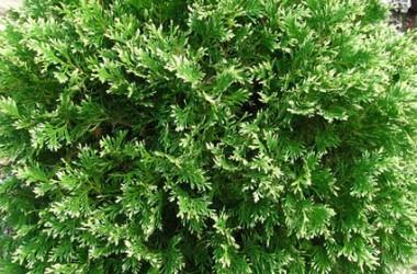 Thuja occidentalis Sherwood Moss