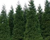 Thuja plicata Green Giant [hyb]