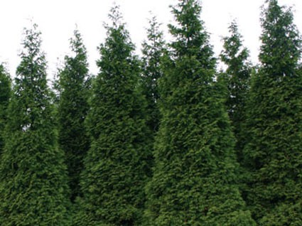 Thuja plicata green giant hyb glasshouse works Green giant arborvitae