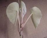 Begonia peltata [incana?]