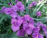 Tradescantia andersoniana Concord Grape