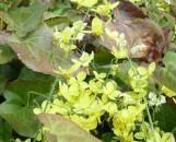 Epimedium perralderianum Frohnleiten