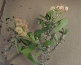 Euphorbia duranii Honkey Tonk [hyb]