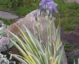 Iris pallida aureo-variegata
