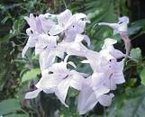 Mackaya (asystasia) bella