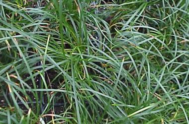 Ophiopogon japonicus Gyoku Ryu