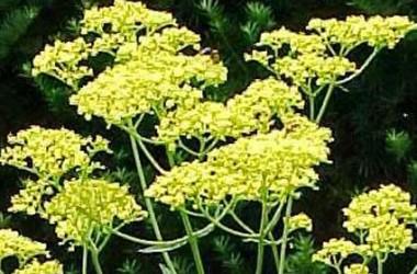 Patrinia scabiosifolia Nagoya