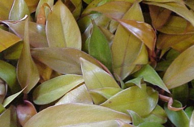 Philodendron Prince Of Orange - Glasshouse Works