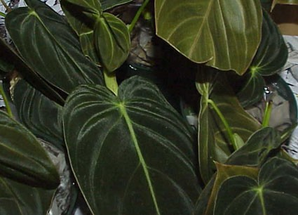 Philodendron Andreanum Glasshouse Works