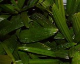 Rhapis excelsa Selection