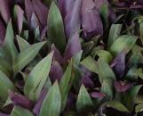 Tradescantia (Rhoeo) bermudensis [spathacea nana]