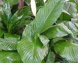 Spathiphyllum Viscount [hyb]