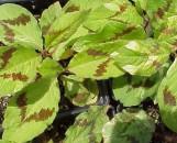 Tovara [persicaria] virginiana variegata
