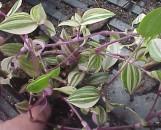 Tradescantia fluminensis laekenensis Rainbow