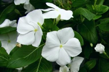 Vinca minor Miss Jekyll's White